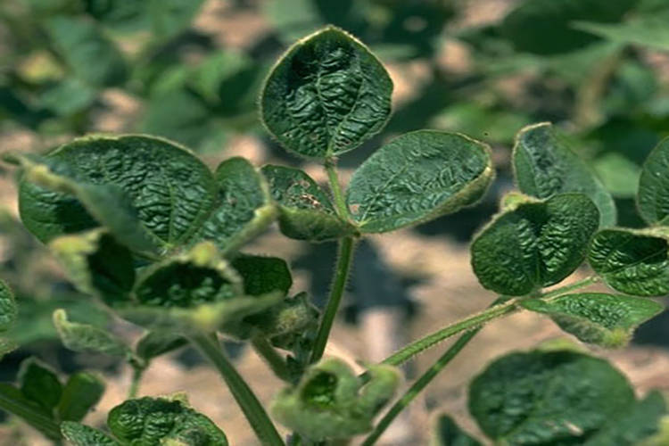 "Dicamba can cause ""cupping"" in non-tolerant soybeans, which are especially susceptible to the herbicide. (Purdue University)"