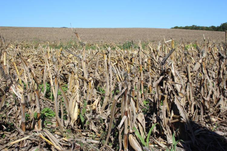 (File photo by Annie Ropeik: A corn field)
