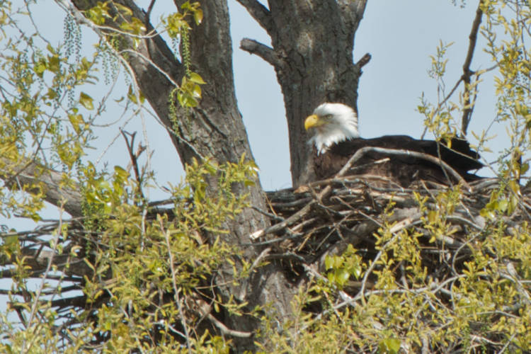 A bald eagle sits on a nest of eggs. (Pete Markham/Flickr)