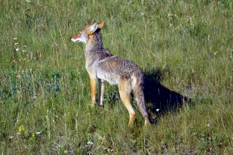 A coyote along the roadside near Kootenay National Park in British Columbia, Canada in 2009. (Ron Clausen/Wikimedia Commons)