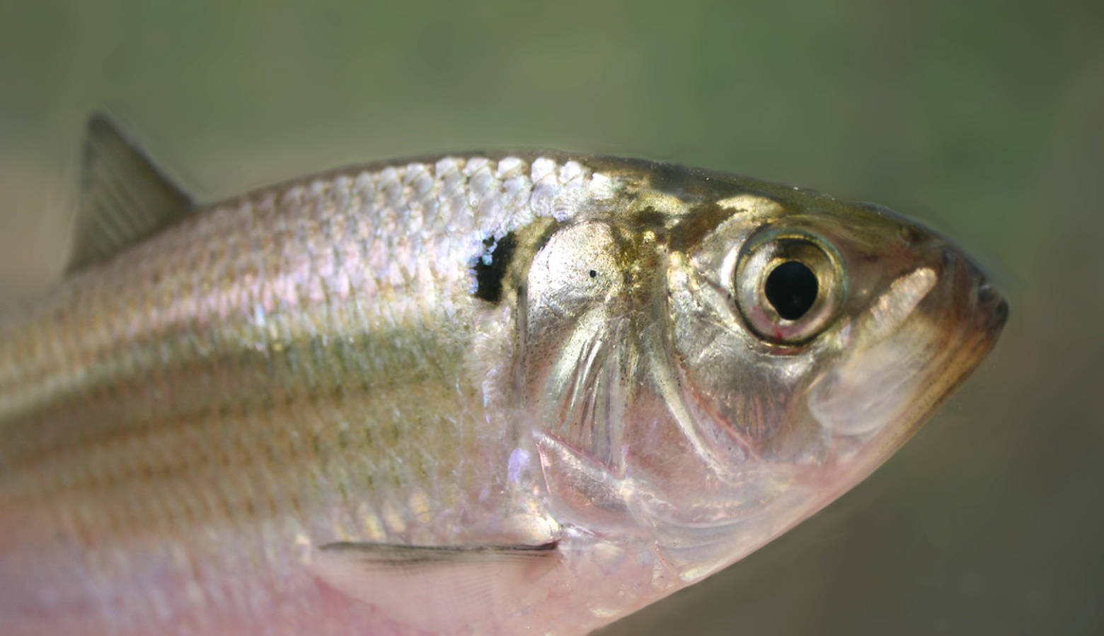 Though the amount of gizzard shad, pictured here, decreased in the Wabash River over the past 60 years, it's numbers stayed about the same in the Ohio River, Mark Pyron says. (Brian Gratwicke/Wikimedia Commons)
