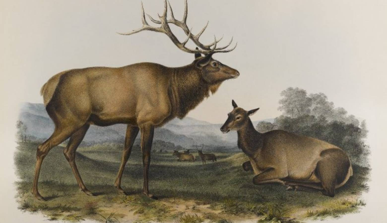 A lithograph of the eastern elk by John James Audubon. It used to live in Indiana until it became extinct in 1880 (Brooklyn Museum/Wikimedia Commons)