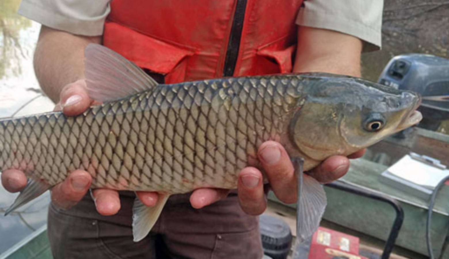 A grass carp. (U.S. Fish and Wildlife Service)
