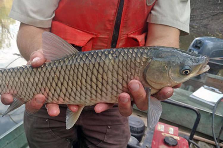 A grass carp. (U.S. Fish and Wildlife Service)