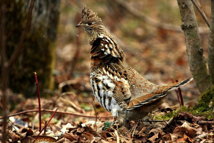 A ruffed grouse. (seabamirum/Flickr)