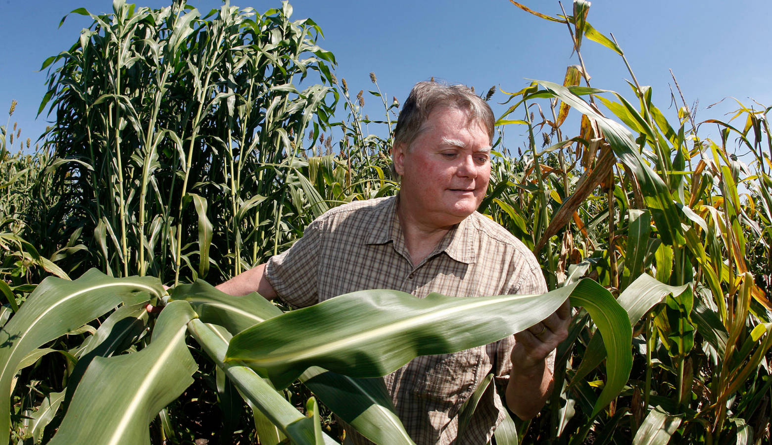 Purdue plant biologist Nick Carpita in a field of sorghum. (Tom Campbell/Purdue Agricultural Communication)