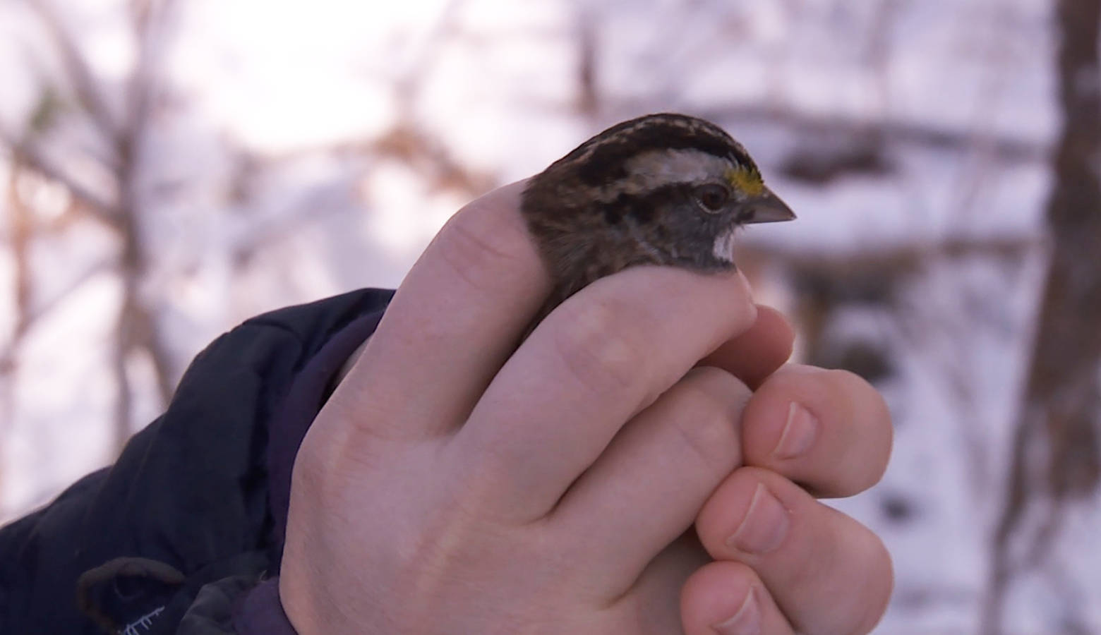 Indiana University PhD student Katie Talbott sets a sparrow free at IU's migration research lab. (Seth Tackett/WTIU)