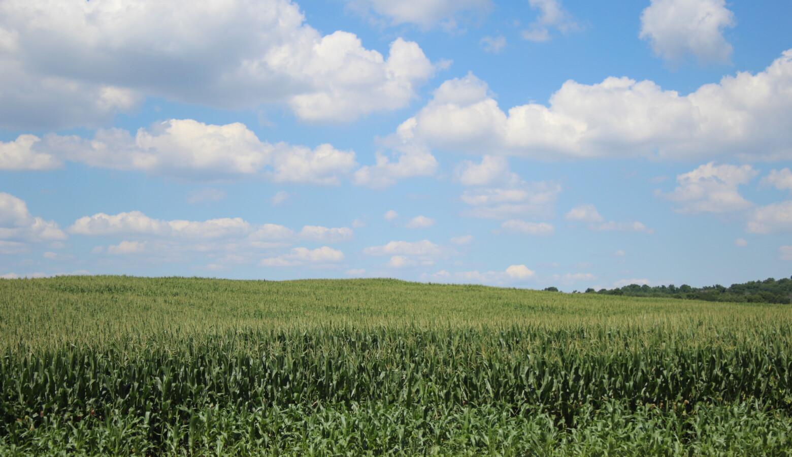 Corn field In Elkhart County, Indiana. (Samantha Horton/IPB News)