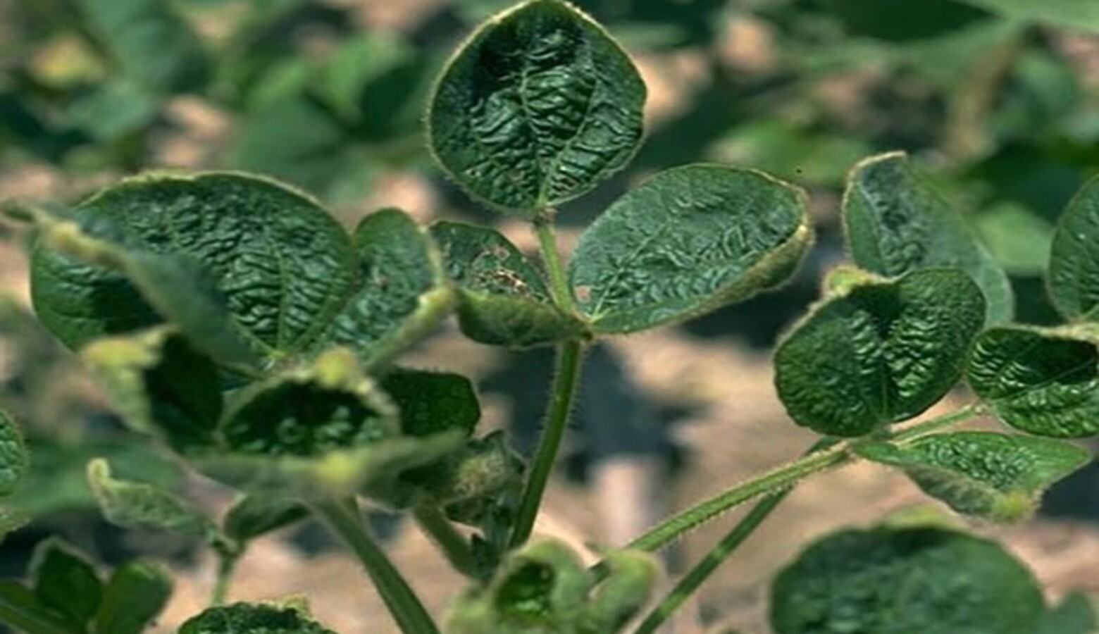 "Dicamba can cause ""cupping"" in non-tolerant soybeans, which are especially susceptible to the herbicide. (Courtesy of Purdue University)"
