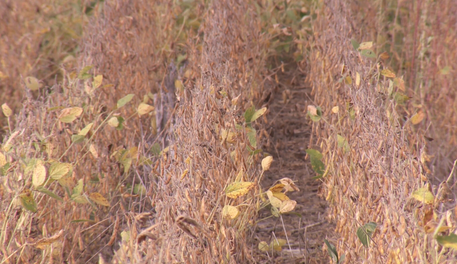 This no-till soybean field farmed by Justin Coleman of Hendricks County stores more carbon dioxide than tilled soil. (Seth Tackett/WTIU)