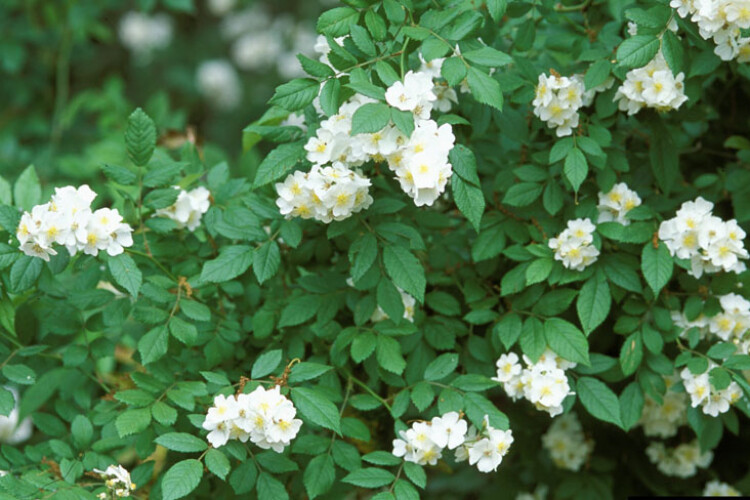 This is what an invasive multiflora rose looks like in the springtime (James H. Miller, USDA Forest Service/Bugwood.org)