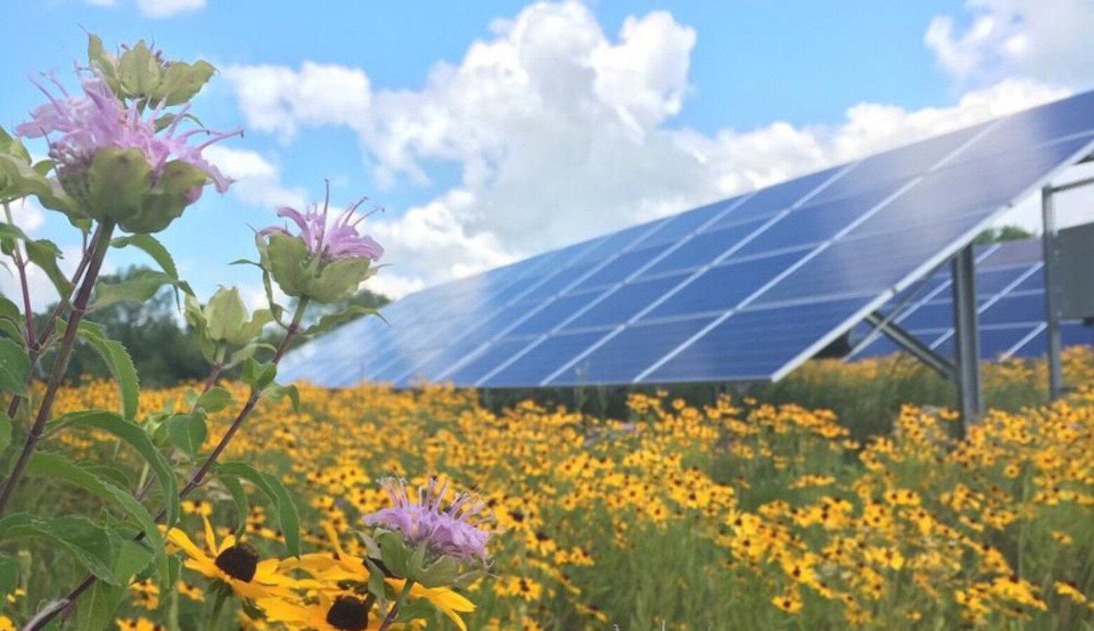 Native plants near a solar panel. (Courtesy of Fresh Energy)