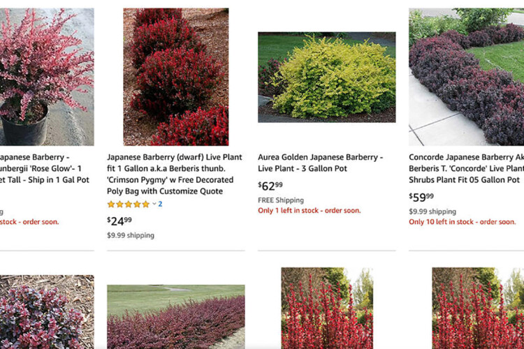 Invasive Japanese barberry available for sale on Amazon Plants. (Screenshot Amazon Plants)