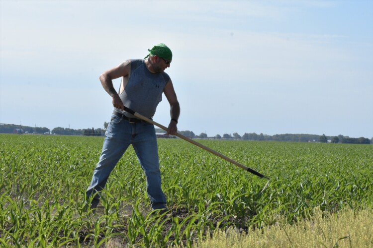 A farmer in Milford, Indiana, clears weeds out of a cornfield with a hoe. (Justin Hicks/ IPB News)