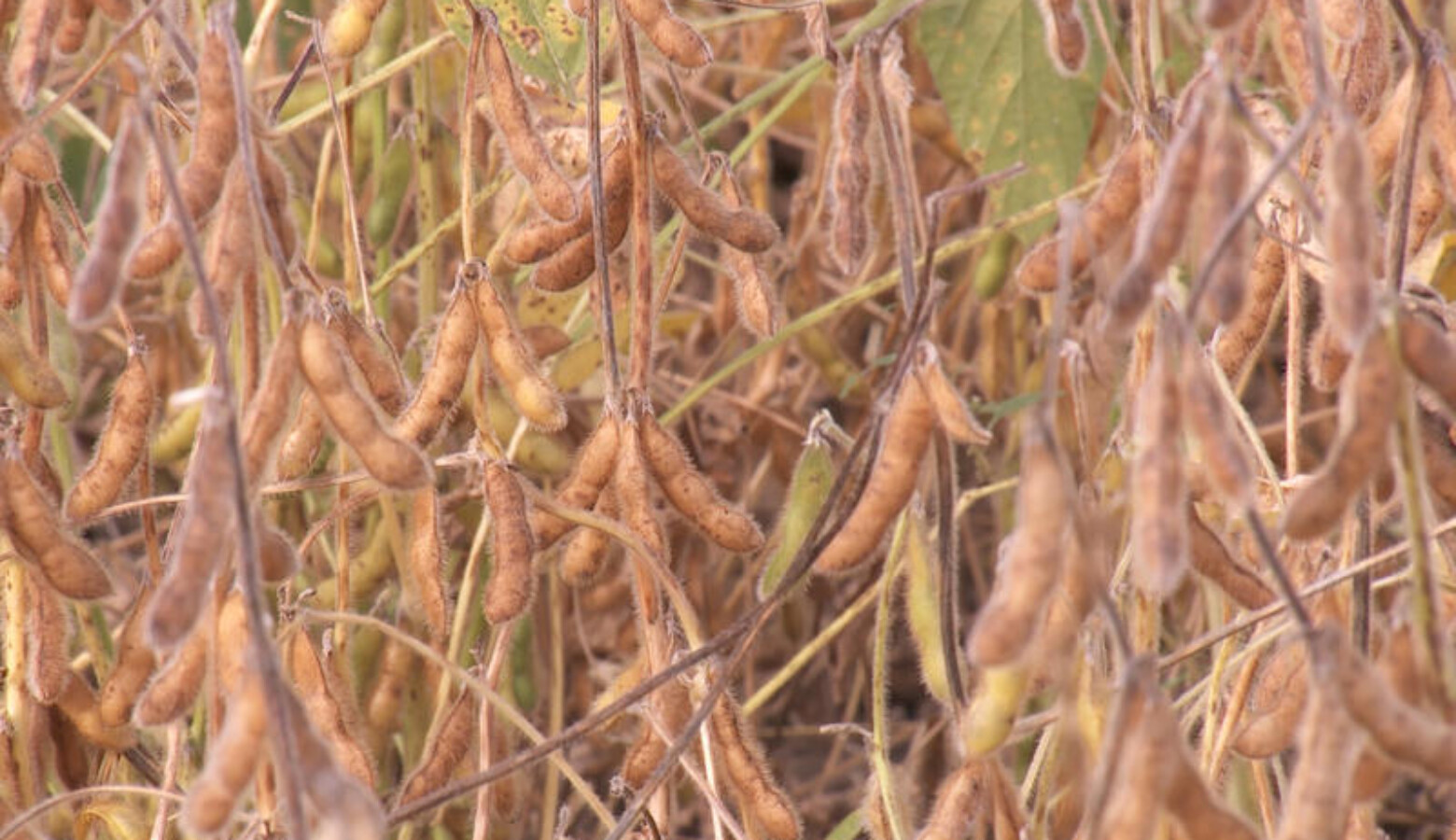 Dicamba can drift off of one soybean field that is resistant to the herbicide and damage a non-resistant field nearby. (FILE PHOTO: Seth Tackett/WTIU News)
