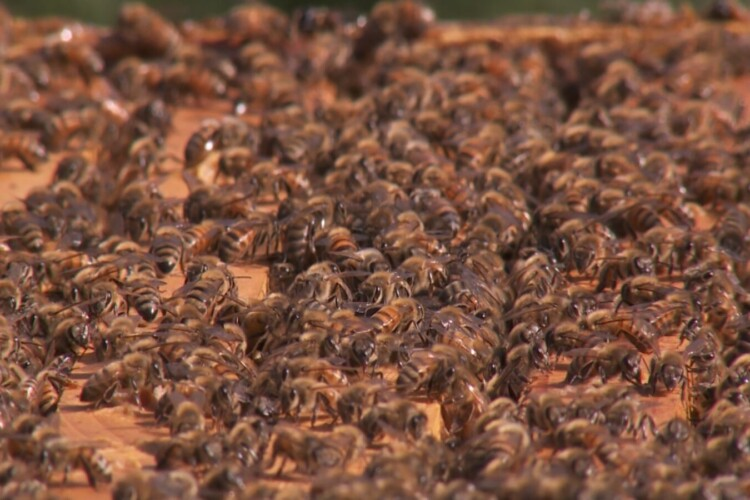 More than 40 percent of honey bee colonies in the U.S. die every year — threatening the nation's food security. (FILE PHOTO: Seth Tackett/WTIU)